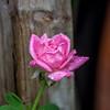 August rain (Pejasar) Tags: rose pink rain august summer unseasonable unusual wet waterdrops sparkle fence home tulsa oklahoma