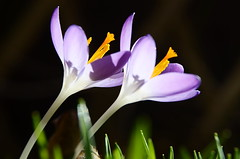 Crocus (Theo Crazzolara) Tags: crocus krokus spring frühling nature natur plant flower blossom lila violet violett pink crocuses croci crocoideae iridaceae asparagales macro closeup