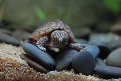 IMG_9853 (Laurent Lebois ©) Tags: laurentlebois france reptile rettile reptil рептилия tortue turtle tortoise tortuga tartaruga schildkröte черепаха chelonia sternotherus minor terrariophilie razorbackmuskturtle cinosterne