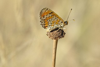 Papillon Montpellier