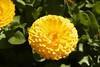 yellow (Val in Sydney) Tags: cumberland hospital park parramatta australie australia nsw flower festival wisteria