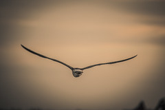 Perfect stretch (Resad Adrian) Tags: seagull perfect flight air flying bird