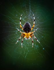 Garden Spider,araneus diadematus. (trevorwilson1607) Tags: gardenspider araneusdiadematus arachnid spider orbspider backgarden webspinner delicate backlit translucent olympusgear tripod awkwardspot web macro closeup naturallight ilovespiders arachnophobesnolook intriguing