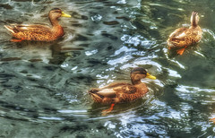 Sunny Ducks (macnetdaemon) Tags: duck bird reflection sunlight nature outdoor outside hdr canon 7d markii lowell massachussets ma pawtucket canal beautifulearth