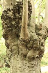 epp26 (Tony Wyatt Photography) Tags: eppingforest epping forest london woods trees beech mushrooms flyagaric alienmushroom puffball corporationoflondon autumn roots treeroots austin austinofengland austincar oldfolks