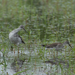 Greater & Lesser Yellowlegs thumbnail