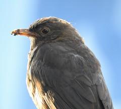 Female Blackbird at Cresswell (Gilli8888) Tags: northeast nature birds nikon p900 coolpix northumberland blackbird femaleblackbird countryside cresswell cresswellponds