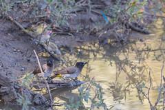 Rokkitboy-0395.jpg (Rokkitboy) Tags: pycnonotustricolor wildlife nature birding southernafrica darkcappedbulbul waterhole pilanesberg southafrica bushveld blackeyedbulbul