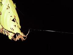 Spider (EX22218 - ON/OFF) Tags: spider aphid dark black green leaves web trees nature night leave leaf kentucky usa louisville brown inexplore mostinteresting invasivespecies thisphotorocks
