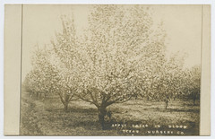 Apple Trees in Bloom, Texas Nursery Co (SMU Central University Libraries) Tags: texasnurserycompany fruittrees floweringtrees