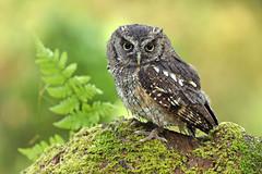 Tropical Screech Owl - Megascops choliba (Roger Wasley) Tags: tropical screech owl megascops choliba siren secret garden birds owls birdofprey south america panama costarica pembrokeshire