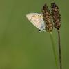 Le petit monde des prés (Gisou68Fr) Tags: azurécommun argusbleu papillon butterfly pré prairie meadow vert green canoneos650d ef100400mmf4556lisiiusm azurédelabugrane polyommatusicarus