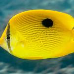 Zanzibar Butterflyfish - Chaetodon zanzibarensis thumbnail