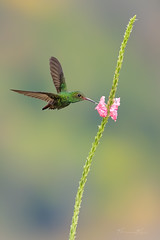 Lone Rufous (Khurram Khan...) Tags: rufoustailedhummingbird hummingbirds wildlife wild costarica nature khurram khan green birds animals nikon nikonnofilter plants bokeh clouds forest colors flower macro