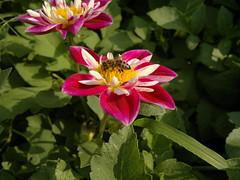 2017-08-22-10644 (vale 83) Tags: bee nokia n8 macrodreams friends flickcolour coloursplosion colourartaward autofocus beautifulexpression