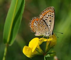 allegra coloreria... (andrea.zanaboni) Tags: colori colors summer estate farfalla butterfly nikon macro allegria geometrie