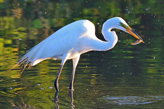 Great Egret with Tadpole Snack