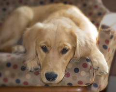 Riley on Labor Day 2017 (Peeb-OK) Tags: dog pet goldenretriever sweet adorable