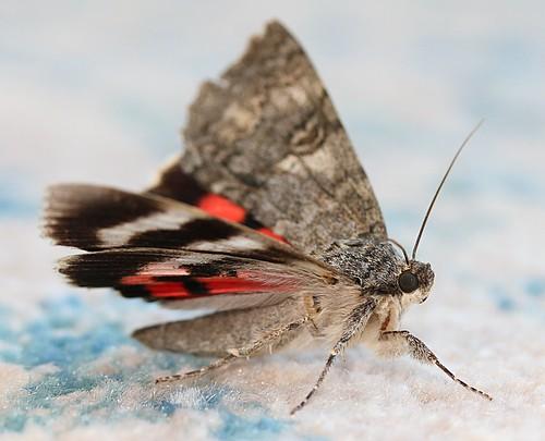 red underwing - catocala nupta