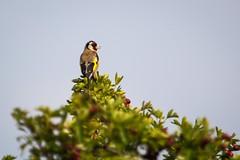 Proudly at the top (Ralph Rozema - traveling) Tags: nature naturereserve goldfinch putter bird netherlands uiterwaarden