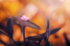 Flower | Explore on 2017.09.05 | Thank you all! (Pásztor András) Tags: nature flower pink leaf corfu 50mm 18 orang teal sunlight bokeh dof blur background petals dslr nikon d5100 hungary andras pasztor photography 2017