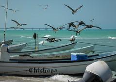 Pelican's squad (yanoche) Tags: pelican boat sea fishing squad yucatan gulfofmexico mexico bird seabird turquoise