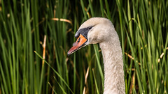 Fluff of swan (Coisroux) Tags: swan birdlife feathers reeds wildlifeportrait d5500 nikond nikond5500