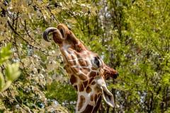 Reach (spierson82) Tags: brookfieldzoo giraffacamelopardalisreticulata czs chicagozoologicalsociety habitatafrica zoo habitatafricathesavannah reticulatedgiraffe giraffe animal brookfield illinois unitedstates us animalplanet
