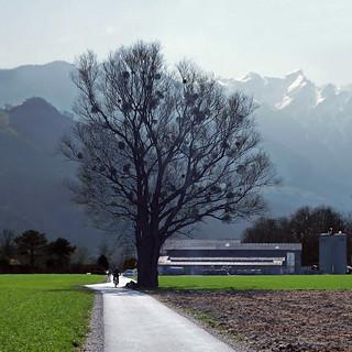 Baum und Misteln. Vaduz, Liechtenstein