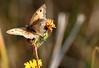 Myrtil très fatigué_Maniola jurtina L. (nicéphor) Tags: nature faune tamron150600mm papillons rhopalocères insectes