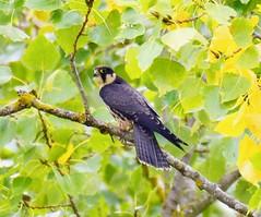 Hobby (Falco subbuteo) at Willowbrook Lake, Islip, Northants. UK (Ian J Hicks) Tags:
