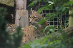 Carpathian Lynx (tim ellis) Tags: dudleyzoo dudleyzoologicalgardens animal cat lynx lynxlynx lynxlynxcarpathica carpathianlynx eurasianlynx uk