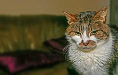 Poppy (Circa 2012) (Cross Process) (Canon EOS 6D & EF 17-40mm L f4 Zoom) (markdbaynham) Tags: cat feline poppy pet cute crossprocess canon eos 6d fullframe dslr ef 1740mm f4 zoom
