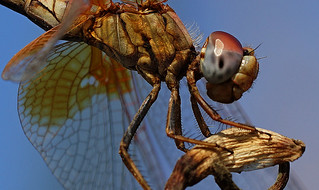 Dragon Fly (Macro)