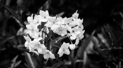 Jasmine Nightshade - Los Gatos, CA - HMBT (randyherring) Tags: ca bokeh flower outdoor bw blackandwhite depthoffield monochrome leaves plant morning closeup flora green california losgatos jasminenightshade solanumjasminoides blooming bloom yellow beautiful white unitedstates us