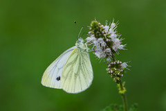 Pieris napi (JoseDelgar) Tags: insecto mariposa pierisnapi 425874288735056 josedelgar naturethroughthelens alittlebeauty coth thegalaxy coth5