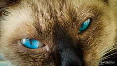 Blue Eyes Cat (Mohammed Qamheya) Tags: 7dwf wednesday macro cat blue eyes samsung note4 smn910c