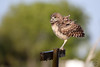 Owlet (Megan Lorenz) Tags: wet raining burrowingowl owl owlet bird avian birdofprey nature wildlife wild wildanimals statethreatened threatenedspecies florida mlorenz meganlorenz 2017 travel