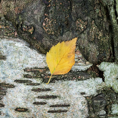 September (Damian_Ward) Tags: damianward ©damianward birch leaf september