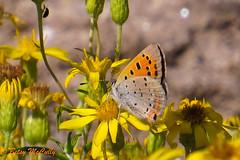 American Copper (Lycaena phlaeas) (Betsy McCully) Tags: americancopper lycaenaphlaeas butterflies northamericanbutterflies