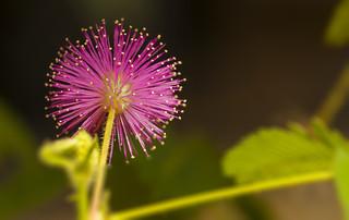 Mimosa pudica_2_KR
