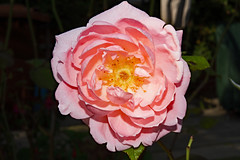 Rose (Skidmarks_1) Tags: flowers gardenflowers flora mygarden maidstone kent