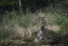 european eagle owl (la fée tarabiscotée) Tags: birding wildlife bird eagle owl bubo belgium canon nature protect