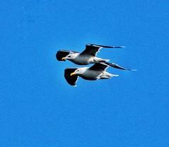 Gannets pair for life, Bempton Cliffs😁💗 (leannehall3) Tags: gannet gannets flying pairs pair sky blue bempton bemptoncliffs canon 1300d