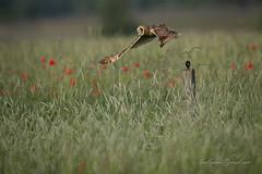 Short-eared Owl (larslaguna) Tags: shortearedowl jorduggla rovfåglar uggla owl predator rovfågel