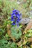 Flowers of Altai. Дельфиниум. Delphinium (Tatters ✾) Tags: altai russia floraofaltai blueflowers delphinium ranunculaceae delphiniumlaxiflorum