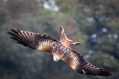 Dive Formation (Howie Mudge LRPS BPE1*) Tags: animal bird nature wild wildlife kite redkite birdorprey beautiful love majestic wings wingspan dive diving predator raptor hunt hunting tail beak eyes fly flying flight trees powys wales cymru uk outside outdoors greatoutdoors canon canonphotographer canoneos80d sigma sigma150600contemporary action 150600mmf563dgoshsm|contemporary015