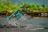 Kingfisher splash catch (andy_harris62) Tags: kingfisher splash catch bird water droplets bright nikond810 wild action aqua beautiful colourful closeup detail