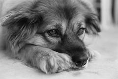 nikki (jollyville) Tags: blackandwhite film 35mm 50mm 50mmf14 pentax pentaxk1000 pentaxm50mmf14 kentmere kentmere100 d76 dog portrait