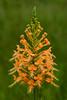 Yellow Fringed Orchid, Platanthera ciliaris (stephaniepluscht) Tags: alabama 2017 graham creek nature preserve foley yellow fringed orchid yellowfringed platanthera ciliaris
